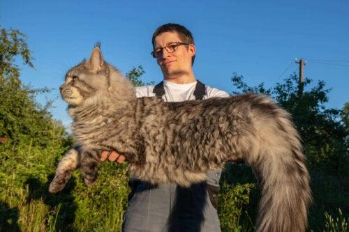 Kæmpe kat viser behov for kur til katte