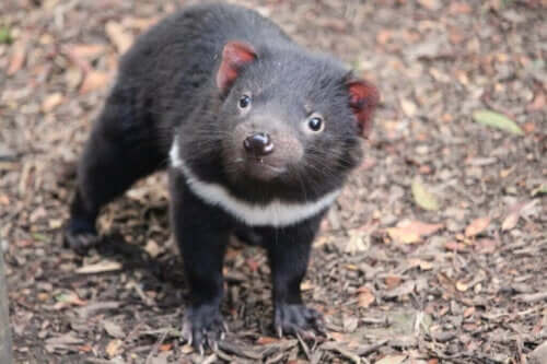 Den tasmanske djævel vender tilbage til fastlandet i Australien