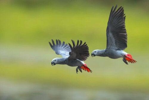 To grå papegøjer