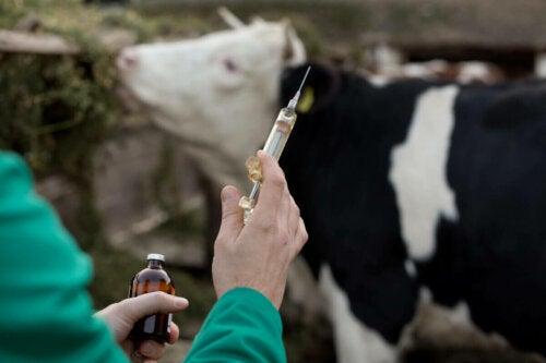 Vaccine mod babesiose hos kvæg