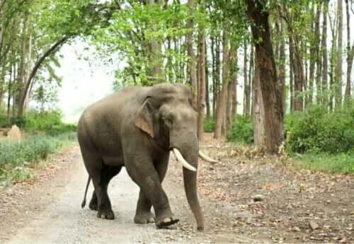 Typer af og kendetegn ved asiatiske elefanter