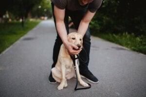 Kvælning hos hunde illustreres af ejer, der prøver at tage noget ud af hunds mund