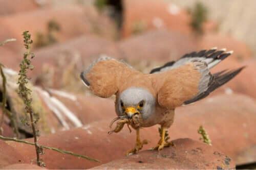 Græshopper er den foretrukne føde for denne fugl