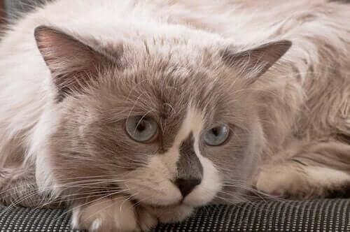 Grå kat med blå øjne