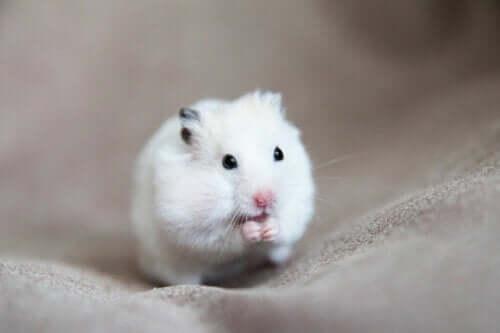 Årsager, symptomer og behandling af svulster hos hamstere