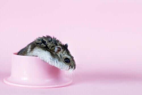 Hamster i skål
