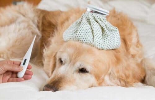 Hund med feber grundet forkølelse hos hunde