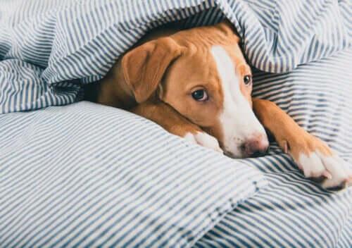 Hund i seng illustrerer forkølelse hos hunde