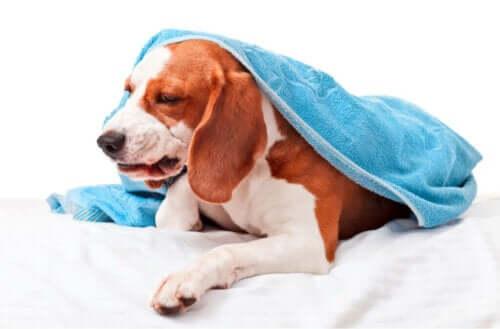 Beskrivelse af infektiøs bronkitis hos hunde