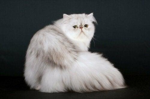 Hvid kat med lang pels