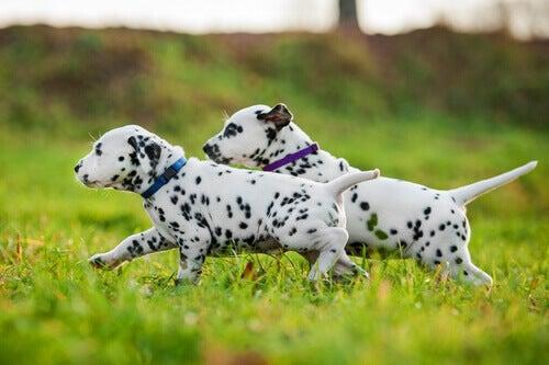 Dalmatinere løber i græs