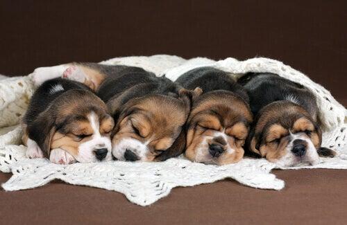 Fire hvalpe ligger på tæppe