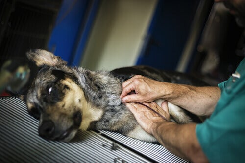 Eksempel på bloddonation for hunde