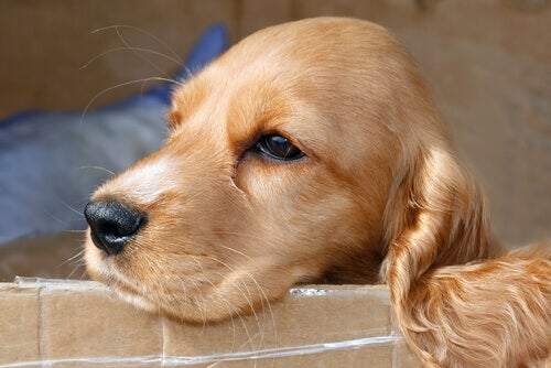 Hund hviler sig på papkasse