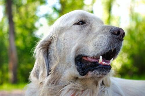 En hunds knurhår er vigtige, som de ses her på en hvid hund