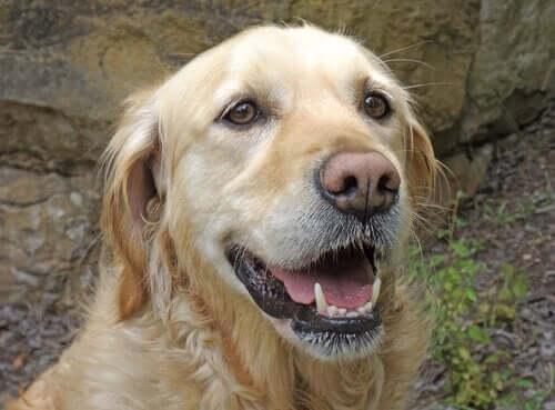 Hvorfor er en hunds knurhår så vigtige?
