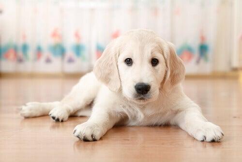 Hundehvalp ligger på gulv
