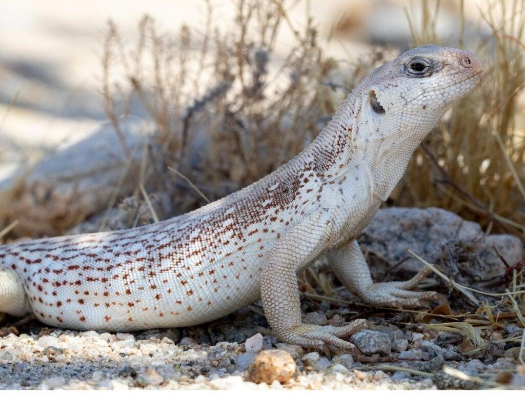 Desert Iguana: Habitat og egenskaber