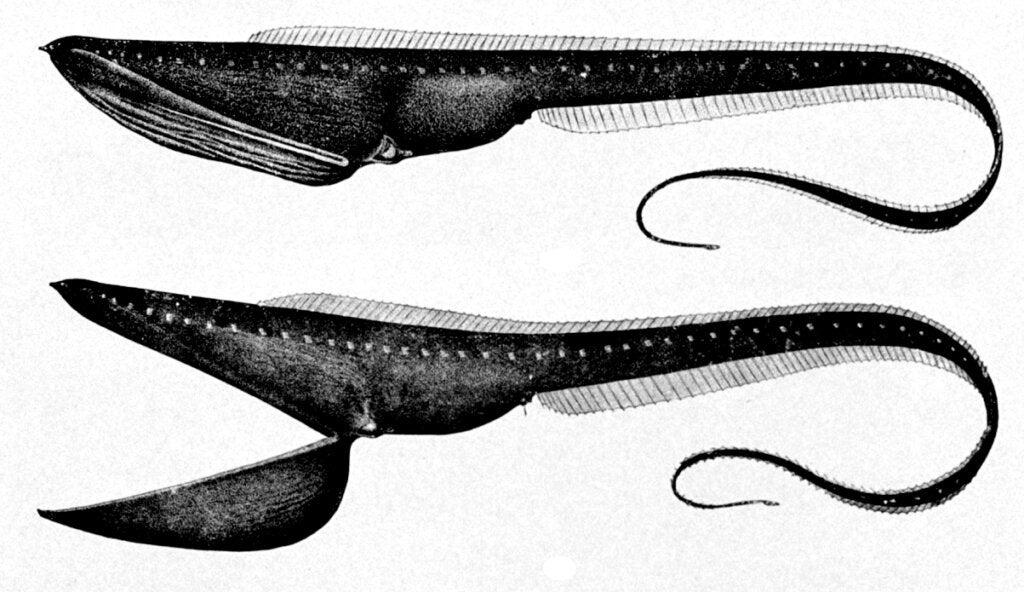 Pelikanål: Habitat og egenskaber