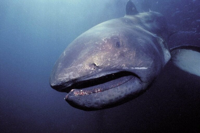 Megamouth Hajen: Habitat og egenskaber