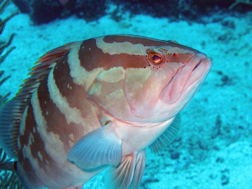 Den gyldne stribede grouper: habitat og egenskaber
