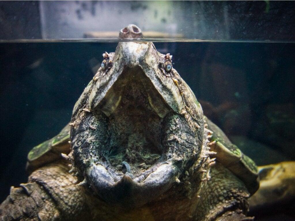 Alligator snapper skildpadde: habitat og egenskaber