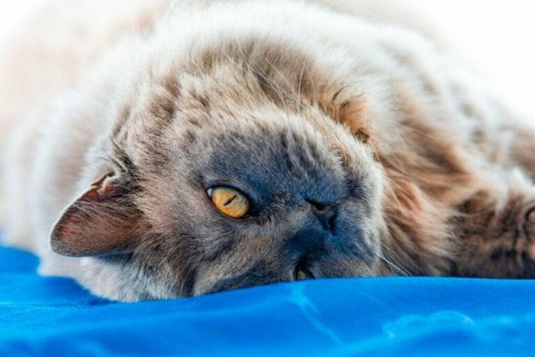 British longhair kat: Oprindelse og karaktertræk