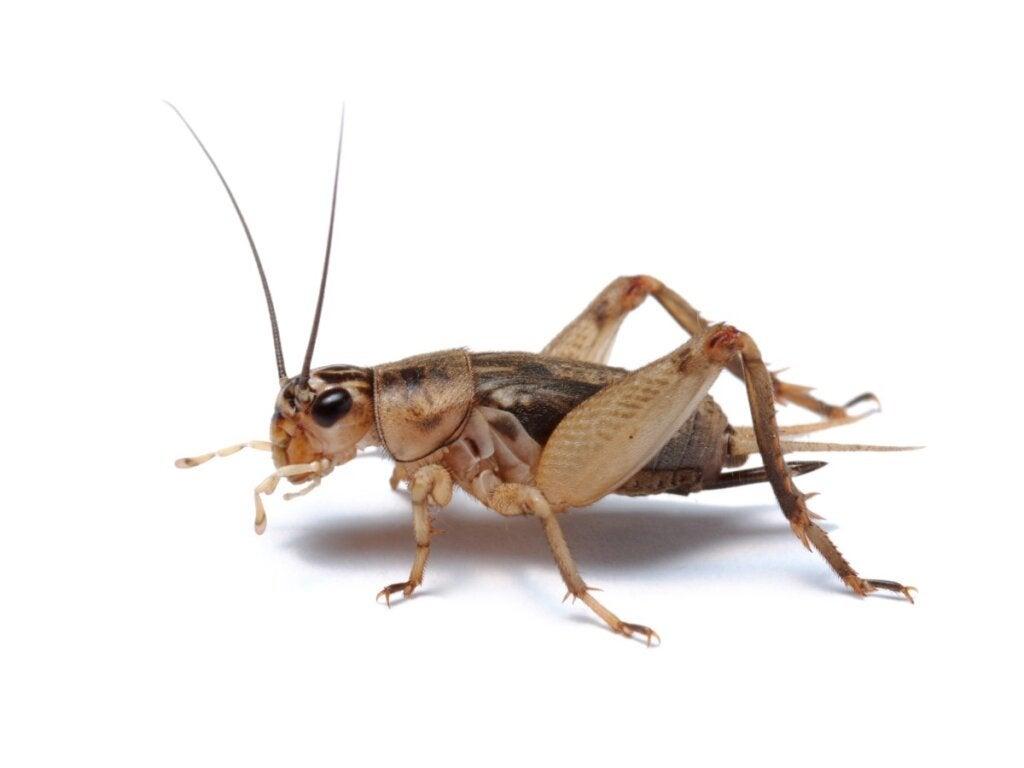 10 nysgerrigheder om crickets