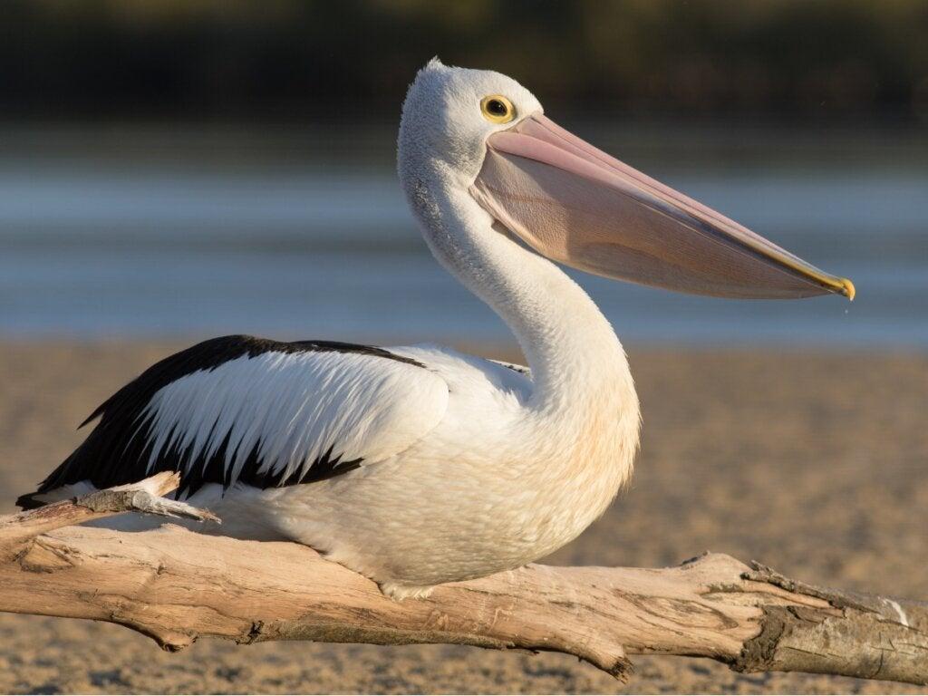 8 typer pelikaner