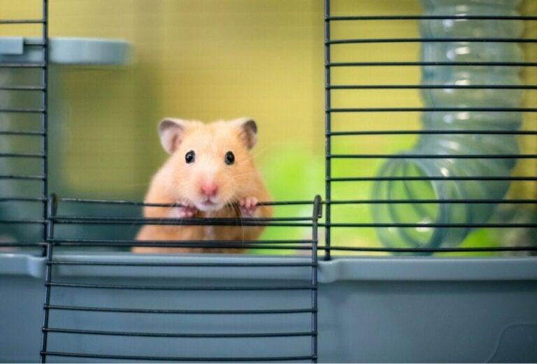 13 nysgerrigheder om hamstere