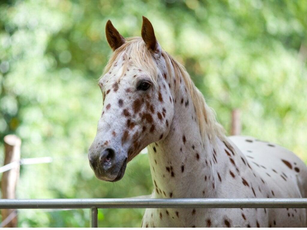 Appaloosa-hesten: Oprindelse og egenskaber