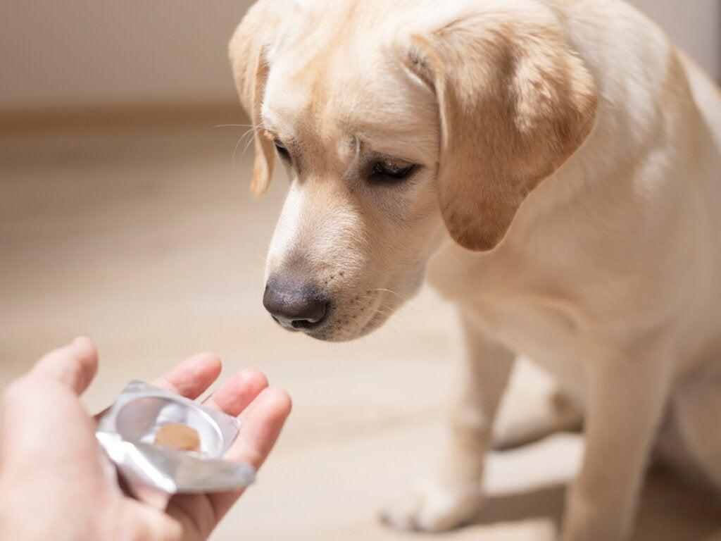 Sucralfat hos hunde: Dosering og kontraindikationer