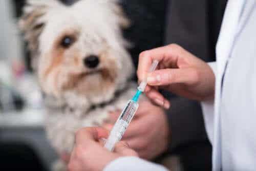 Hvilke er de vigtigste vaccinationer for dit kæledyr?