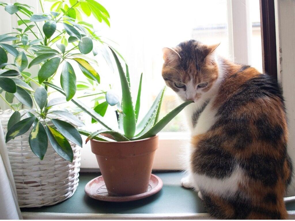 Aloe Vera til katte: anvendelser og fordele