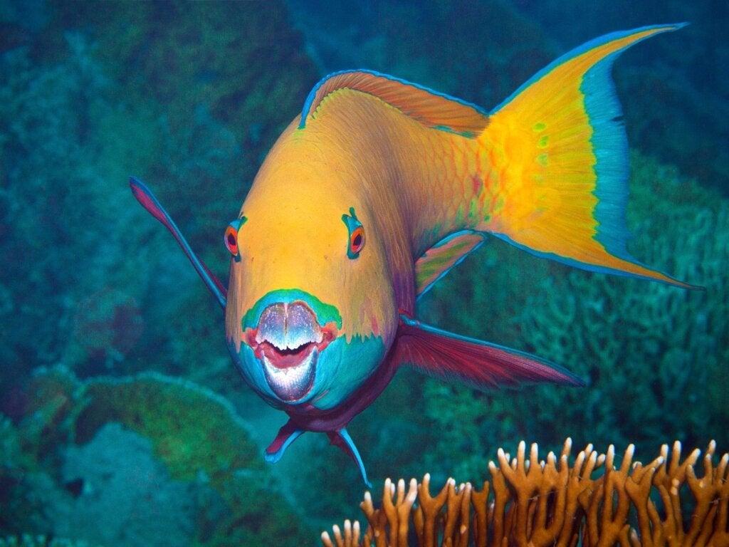 7 Nysgerrigheder fra papegøjefisken