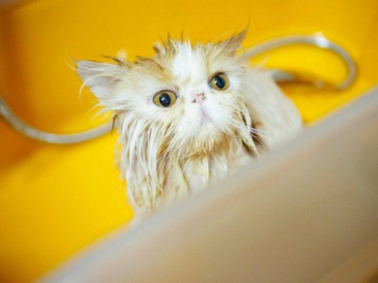 Sådan bades en persisk kat i 6 trin