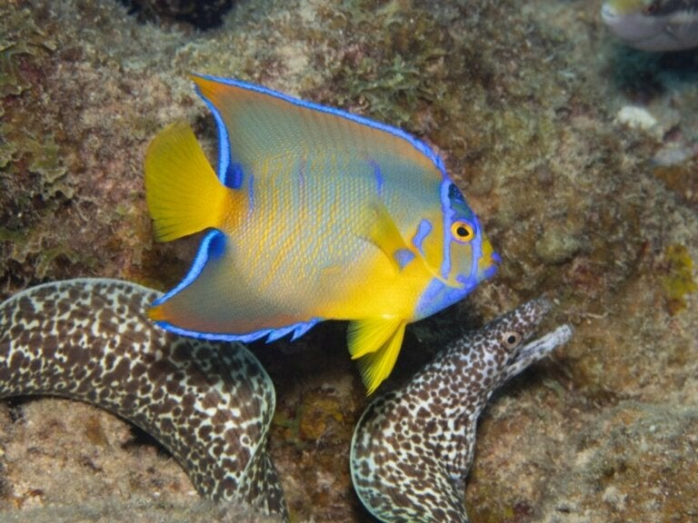 Queen Angelfish: Habitat og karakteristika
