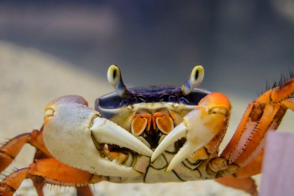 Typer af krabber: Deres egenskaber, adfærd og reproduktion