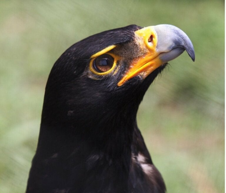 Black Eagle: Habitat og egenskaber