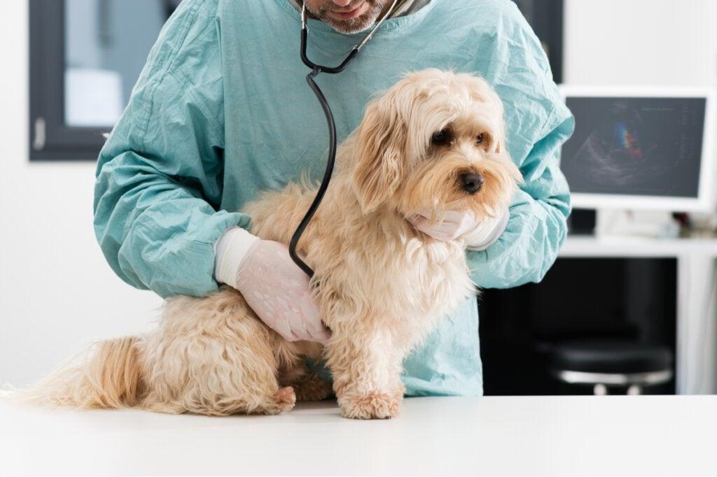 Hageorm hos hunde: symptomer og behandling