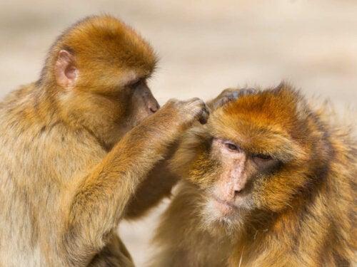 Primarts adfærd illustreres af to aber, der plejer hinanden