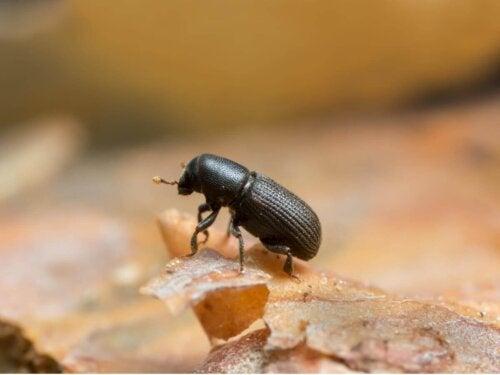 En sort bille er eksempel på bioindikatorarter