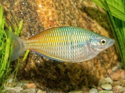 Boesemans regnbuefisk