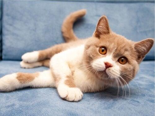 British shorthair er populære orange katteracer