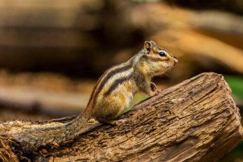 Egern er nogle af de mest intelligente gnavere