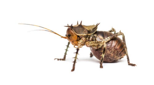 En farlig græshoppe