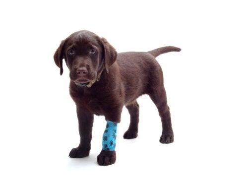 Eksempel på forstuvninger hos hunde