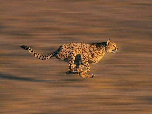 Gepard løber
