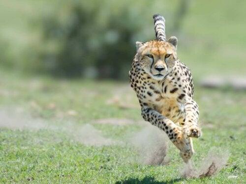 En gepard løber