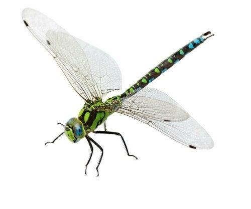 Smuk guldsmed